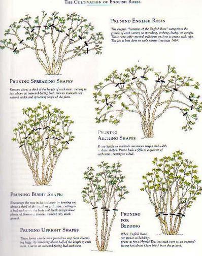 Схемы посадки роз остина