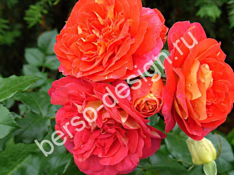 Розы в розарии уникальны своей